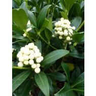 Skimmia Kew White