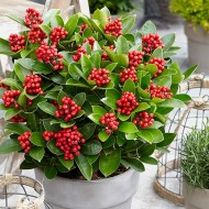 Skimmia japonica Olympic Flame - Female Japanese Skimmia in Berry