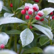 WINTER SALE - Skimmia japonica Nymans - Large Specimen Plant
