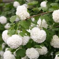 SNOW BALL TREE - Viburnum opulus roseum - Snowball Tree