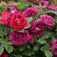 Rose Souvenir du Docteur Jamain - Climbing Rose