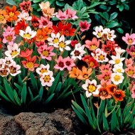 Sparaxis Harlequin Flower Mixture - Pack of 100 Bulbs