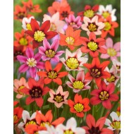 Sparaxis Harlequin Flower Mixture - Pack of 250 Bulbs