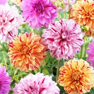 Dahlia Speckled Mix - Pack of THREE
