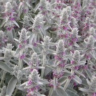 Stachys byzantina Silver Carpet - Lambs Ears