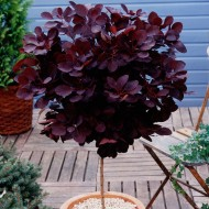 Standard Cotinus Royal Purple - Smoke Bush Tree