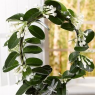 Fragrant Stephanotis - Madagascar Jasmine in White Pot