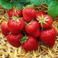 Strawberry - 'Senga Sengana' - Large Fruited Old Fashion Flavour - Pack of TEN