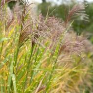 Miscanthus sinensis Strictus - Zebra Grass