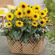 Sunflower Sunfinity - Helianthus