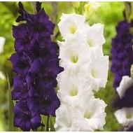 Gladiolus Sweet Dreams - Pack of 25 Gladioli Corms
