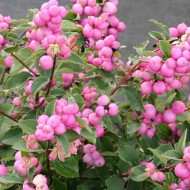 Symphoricarpos doorenbosii Magical Sweet - Snowberry