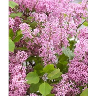 Dwarf Korean Lilac - Syringa SHRUB - Pack of TWO