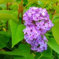 Syringa vulgaris Amethyst - Fragrant Purple Lilac