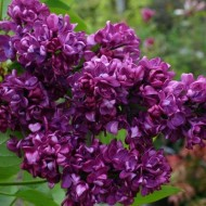 Syringa vulgaris Charles Joly - Fragrant Lilac
