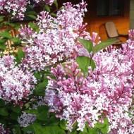 Dwarf Hungarian Lilac - Syringa josikaea Shrub