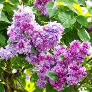 Fragrant Standard Lilac Tree - Syringa vulgaris Katherine Havemeyer