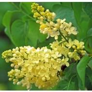 Syringa vulgaris Primrose Standard - Rare Yellow Lilac