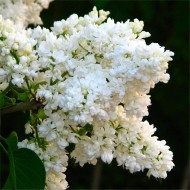 Syringa vulgaris Madame Lamoine - Fragrant White Lilac