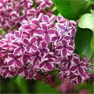 Syringa vulgaris Sensation - Fragrant Picotee Lilac