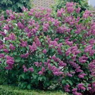 Syringa vulgaris Belle de Nancy - Fragrant soft-pink Lilac Tree