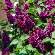 Syringa vulgaris Charles Joly - Fragrant Standard Lilac Tree