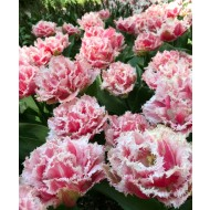 Tulip 'Queensland' - Double Fringed Tulips - Pack of 6 Bulbs