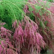 Tamarix ramosissima 'Pink Cascade' - LARGE SPECIMEN