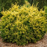 Taxus baccata 'Semperaurea' - Gold Irish Yew