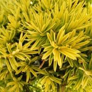 Taxus baccata 'Fastigiata Aurea' - Golden Yew