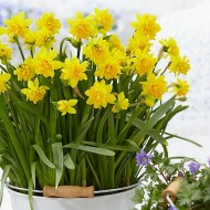 New Double Flowering Tete Boucle Dwarf Daffodils in Bud
