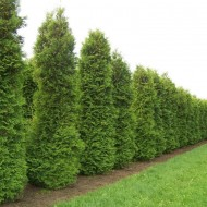 Thuja occidentalis Brabant - 80-100cms Specimen or Hedging Conifer