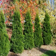 Super Bushy Thuja occidentalis 'Smaragd' - 80-100cm Specimen or Hedging Conifers