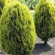 Thuja orientalis aurea nana (Platycladus) - LARGE