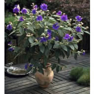 Tibouchina urvilleana - Princess Flower Patio Tree