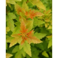 Physocarpus Tiny Wine Gold
