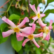 Fragrant Trachelospermum asiaticum Pink Showers - Pink Star Jasmine Plants