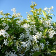 Fragrant Evergreen Star Jasmin -Trachelospermum jasminoides - 150cm Specimen Plant +