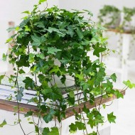 Trailing GREEN Ivy for Baskets & Planters - Pack of FIVE Hedera Plants