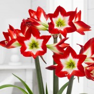 Amaryllis - TRES CHIC - Red with White Heart Hippeastrum Bulb
