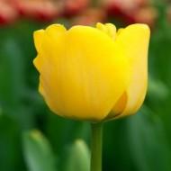 Tulip 'Golden Apeldoorn' - Pack of 12 Bulbs