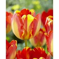 Tulip 'Banja Luka' - Pack of 12 Bulbs