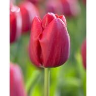 Tulip 'Bastogne'' - Pack of 12 Bulbs