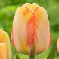 Tulip 'Beauty of Spring' - Pack of 12 Bulbs