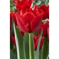 Tulip 'Ben Van Zanten'' - Pack of 12 Bulbs