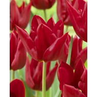 Tulip 'Bloody Mary'' - Pack of 12 Bulbs