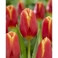 Tulip 'Choice' - Pack of 12 Bulbs