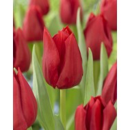 Tulip 'Curry' - Pack of 12 Bulbs