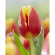 Tulip 'Denmark'' - Pack of 12 Bulbs