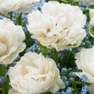 Double White Peony Flowered Tulips Grobina - 10 Bulbs